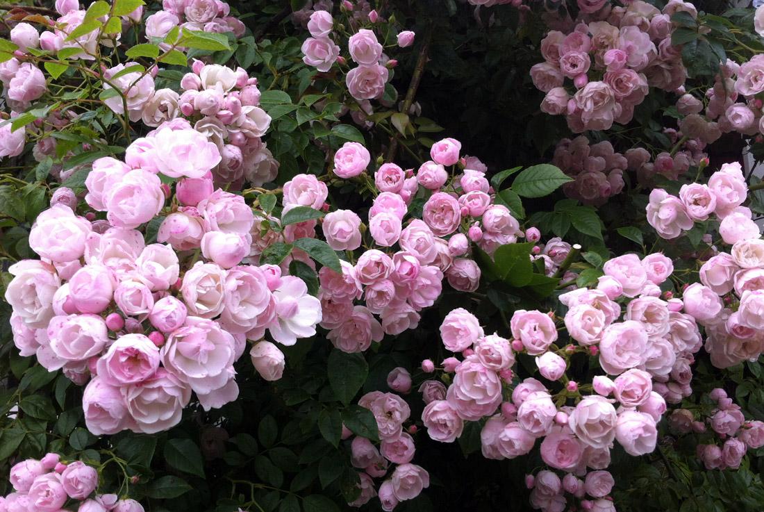Bordura di rose. consigli per il giardino